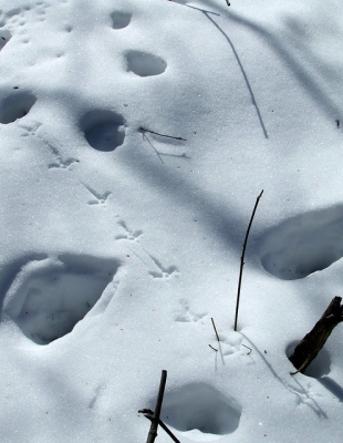Ruffed grouse tracks in our woods in the winter of 2007