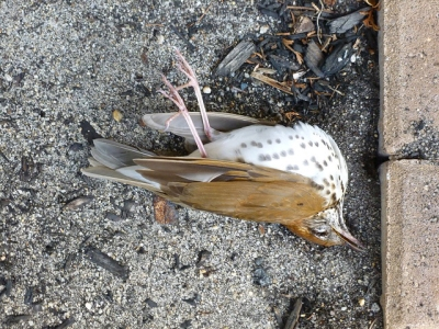 A wood thrush killed by striking a window