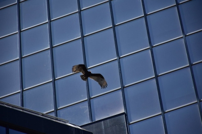 A turkey vulture flies near an office tower