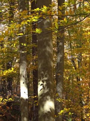 Beech trees below the driveway