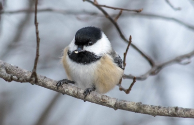 A black-capped chickadee in November