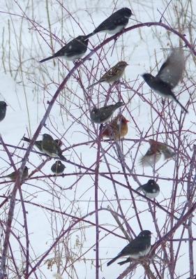 Feeder birds on raspberry canes near the bird feeders