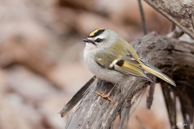A golden-crowned kinglet in Chester County, PA