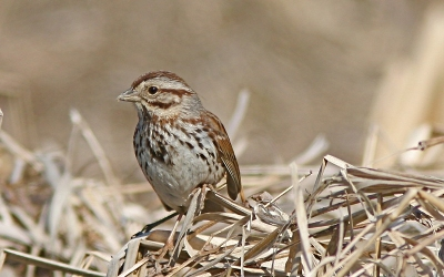 A song sparrow at Wildwood Lake, Harrisburg, PA