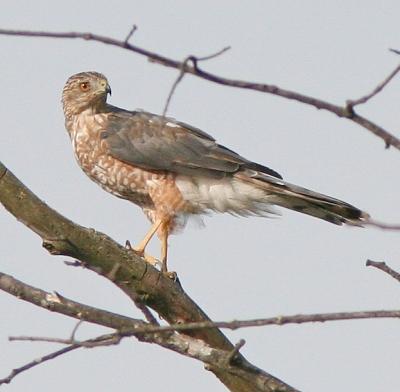 Cooper's hawk in Gettysburg, PA