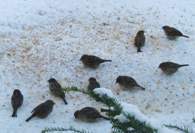 Feeder birds blanketing the snow