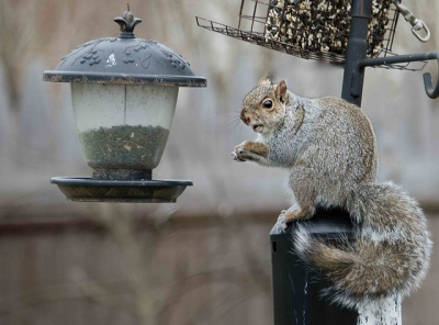 A gray squirrel at a bird feeder