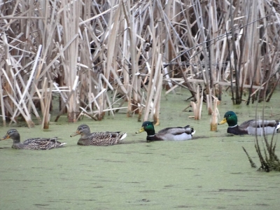 Mallards seen during a CBC in Allegheny County, PA, in 2015