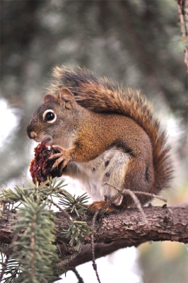 An American red squirrel eating a nut