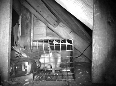 Game cam image of a gray squirrel in an animal trap in our attic