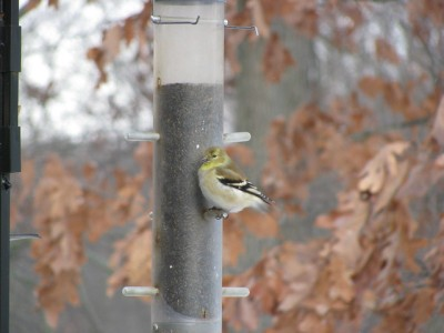 A goldfinch at a tube feeder