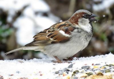 A house sparrow on a bird feeder in Pennsylvania