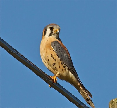 An American kestrel on a wire