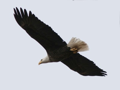 A bald eagle flying over Codorus State Park in Pennsylvania