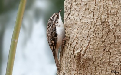 A brown creeper in Pennsylvania