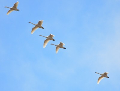 Tundra swans fly over