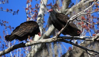 A pair of turkey vultures roosting in a tree
