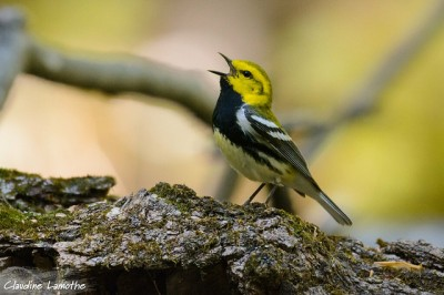 A black-throated-green warbler singing