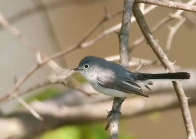 A blue-gray gnatcatcher building a nest in Pennsylvania