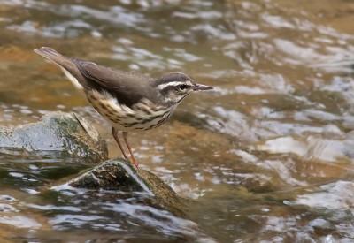A Louisiana waterthrush at a stream in Pennsylvania