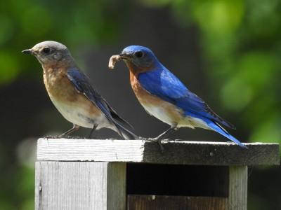 A bluebird couple on a bluebird box