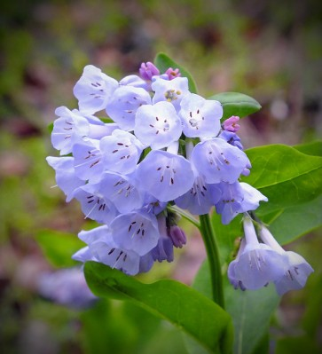Virginia bluebells at Shenks Ferry Wildflower Preserve, PA