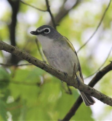 A blue-headed vireo in Plummer's Hollow