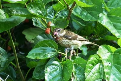A female rose-breasted grosbeak eating mulberries