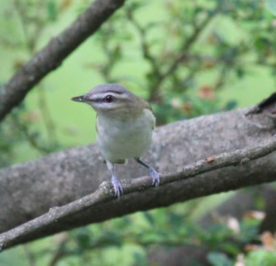 A red-eyed vireo in Plummer's Hollow