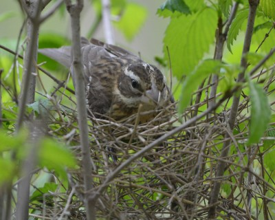 A female rose-breasted grosbeak building her nest