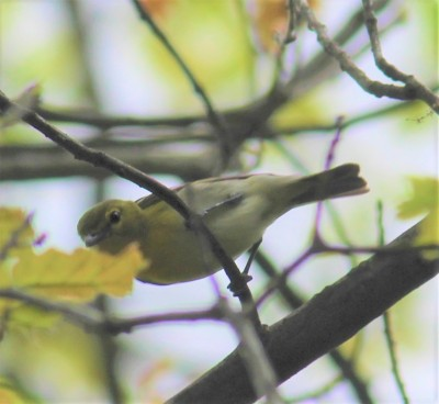 A yellow-throated vireo in Plummer's Hollow