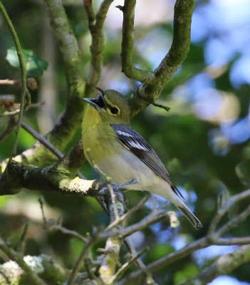A yellow-throated vireo singing