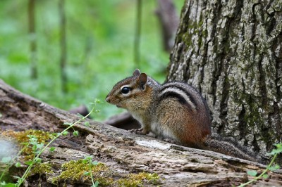 A chipmunk in a Pennsylvania forest
