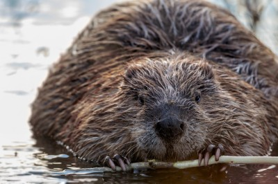 A beaver at work