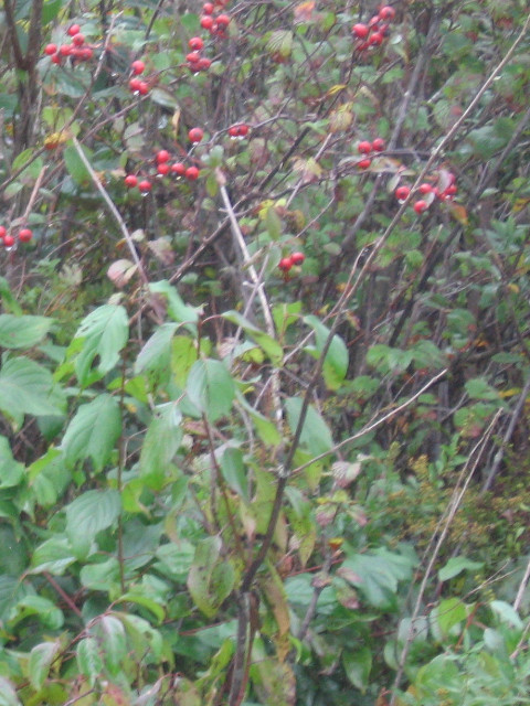A winterberry growing along the trail