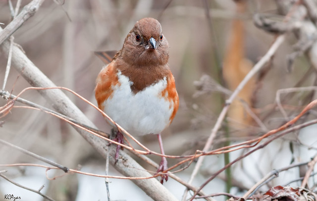 Many female bird species sing but this female eastern towhee also has attitude