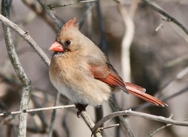 A female northern cardinal in the Codorus State Park, Hanover, PA