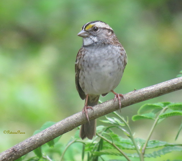 A white-throated sparrow in Alabama