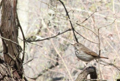 Mark's photo of a hermit thrush in Plummer's Hollow