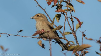 A juvenile northern shrike (Photo by Eric Ellingson on Flickr, Creative Commons license)