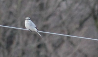 A northern shrike on an electric wire beyond our barn (Photo by Mark Bonta)