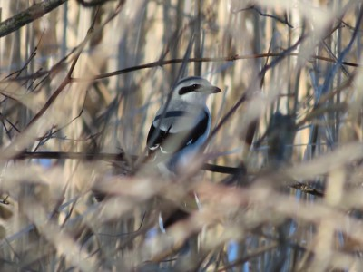 A northern shrike at the John Heinz NWR, Philadelphia (Photo by Brian Henderson on Flickr, Creative Commons license)