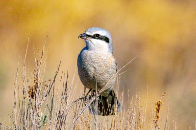 A northern shrike in British Columbia (Photo by Murray Foubister on Flickr, Creative Commons license)