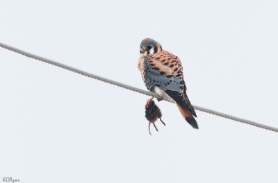 American kestrel in Chester County, PA (Photo taken in February 2012 by Kelly Colgan Azar, on Flickr, Creative Commons license)