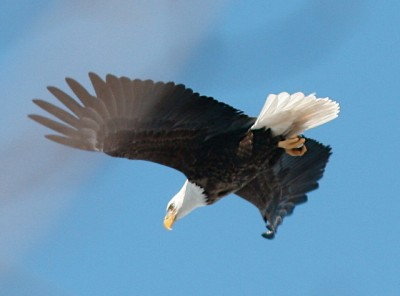Bald eagle in Hanover, PA (Photo taken in February 2007 by Henry T. McLin, on Flickr, Creative Commons license)