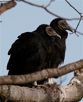 Black vultures in Gettysburg, PA (Photo taken in January 2007 by Henry T. McLin, on Flickr, Creative Commons license)