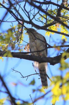 Cooper's hawk in Plummer's Hollow (Photo taken in May 2020 by Mark Bonta)
