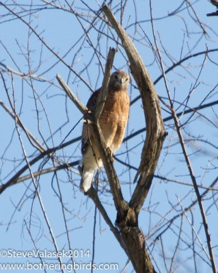 Red-shouldered hawk in Indianola, PA (Photo taken in January 2014 by Steve Valasec, on Flickr, Creative Commons license)