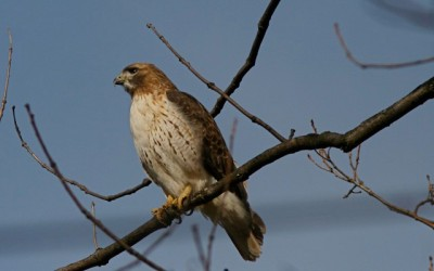 A red-tailed hawk in Hanover, PA (Photo taken in February 2008 by Henry T. McLin, on Flickr, Creative Commons license)