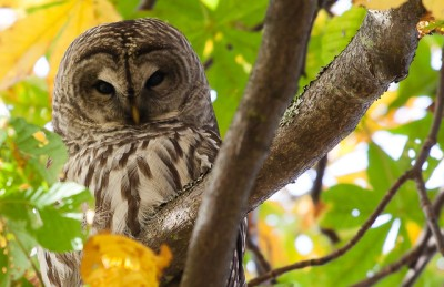 A barred owl (Photo by M.E. Sanseverino on Flickr, Creative Commons license)
